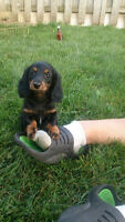 Super Cute MINI Dachshund Puppies- 2 Girls Left!!