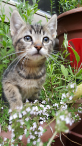 Sweet female tabby kitten