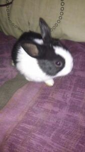 3 Mth old Dutch girl rabbit for sale,