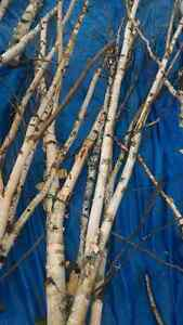 Birch branches or logs for crafting London Ontario image 2