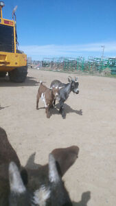 2 yr old nigerian dwarf/ fainting goat and 2 month old kid