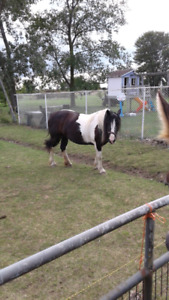 Amazing Clyde paint cross mare