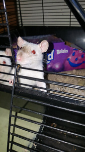 2 female pet rats for sale !