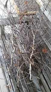 bunch of curly willow branches, natural