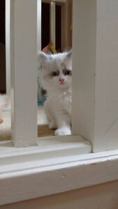 Gorgeous Persian x Ragdoll kittens