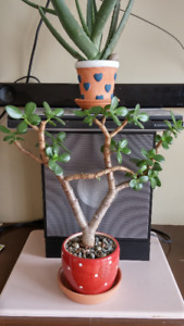 A unique Jade Bonsai and A lovely Succulent houseplant