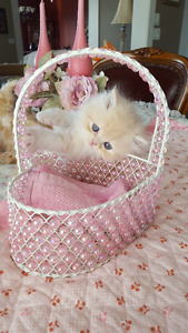 Gorgeous Purebred Persian Kitten for sale