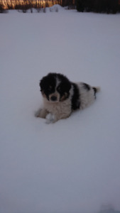 Pyrenees puppies for sale near preeceville
