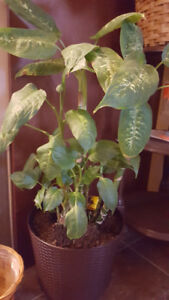 Healthy indoor Dieffenbachia plant