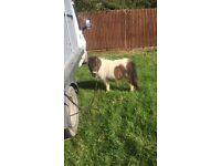 Shetland filly
