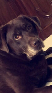 LOST !! Chocolate Lab, Mon Dec 11, Kemptville area