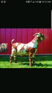 Looking for dapple coloured nanny goat up to 1 year old or less