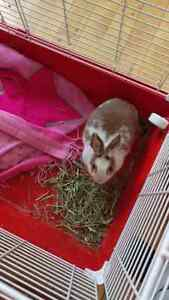 Dwarf Rabbit for Breeding