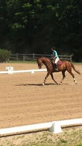 Hanoverian Mare For Lease