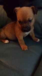 Male Chi looking for home to cuddle