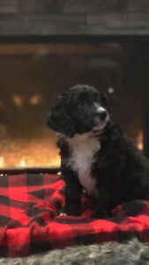 Mini Bernedoodle for sale, *** ONLY 3 REMAINING