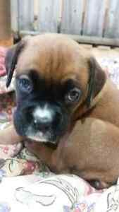 Boxer puppies Stratford Kitchener Area image 2