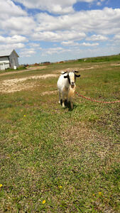Small intact male goat