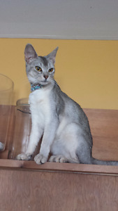 3 Abyssinians Available for breeding.