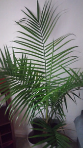 Beautiful palm indoor plant