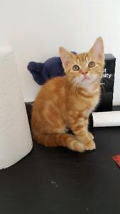 Male kittens for adoption