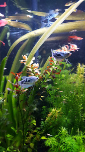 4 healthy gourami fishes for sale