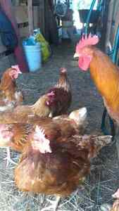 9 hens and 2 roosters