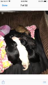 Daisy puppies for sale