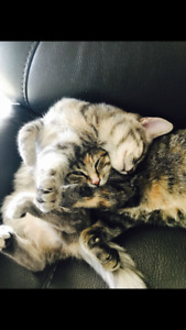 Two-11 month old female kittens