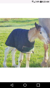 Weanling Clydesdale Colt