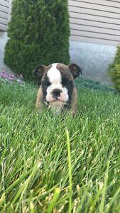 Purebred English Bulldog - 4 month old