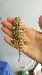 2 Special Baby Rankin (Pgymy) Dragons looking for Homes!