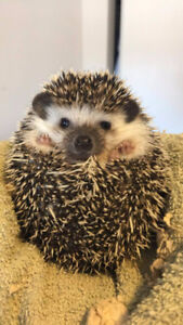 Baby Hedgehog looking for a new home