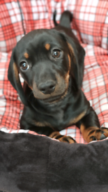 Last absolutely adorable female Dachshund puppy