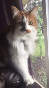 Colema - Lost Male Cat - Orange and White Longhair