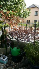 Acer maple tree large