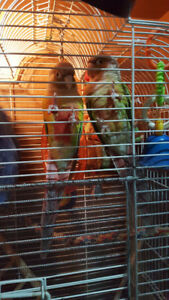 2 Cinnamon Conures for sale! End of week special $340