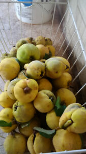 Home Grown Quinces