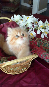 pure bred Persian kittens for sale!!