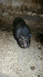 Pot belly pig Cornwall Ontario image 1