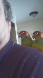 couple conure triba