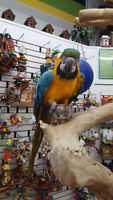 Blue & Gold Macaw - Bubba
