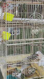Zebra Finches with Tall Cage Peterborough Peterborough Area image 4