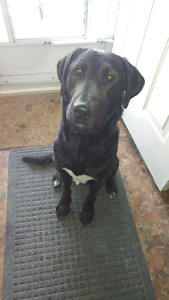 Found a male black lab  with. a white chest