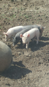 Piglets and Butcher pigs