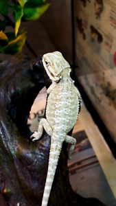 High end speciality bearded dragon babies available