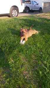 Magnifique chiots Labrador croisés Boxer fauve