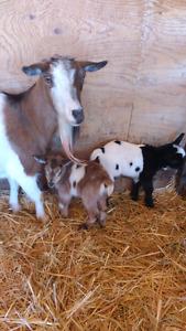 Nigerian dwarf goat cross