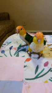 Breeding pair of White belly Caique for sale