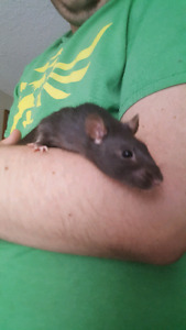 Young female rat